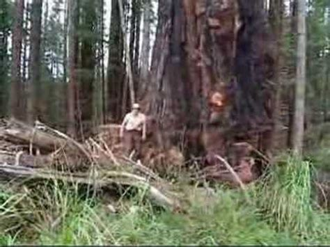 Old Growth Logging (Northern California) - YouTube