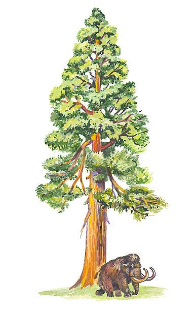 Sequoia tree clipart 20 free Cliparts   Download images on