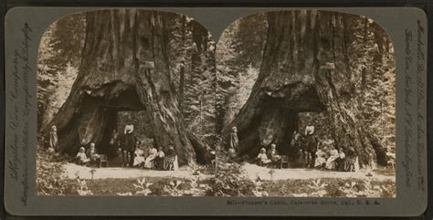 Giant Sequoia 'Tunnel Tree' in California Is Toppled by