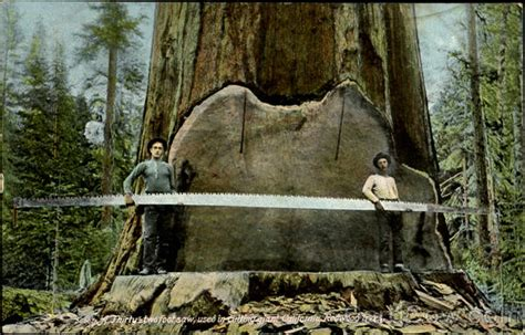 A Thirty Two Foot Saw Used In Cutting Giant California